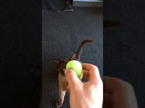 Burmese cat plays fetch