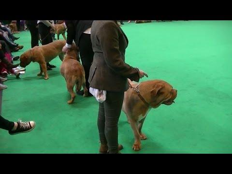 Female Dogue de Bordeaux in Crufts 2017
