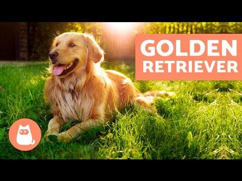 GOLDEN RETRIEVER - Características, adiestramiento y cuidados