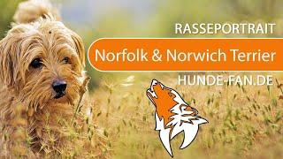 Norfolk & Norwich Terrier [2019] Breed, Appearance & Character