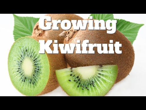 Growing Kiwifruit Vines in Australia