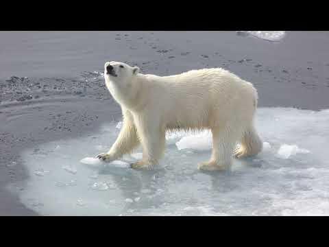 Polar Bear family encounter on the Arctic Ocean