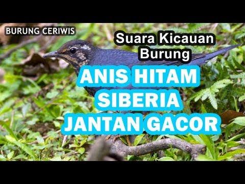 Suara Kicauan Burung Anis Hitam Jantan Atau Anis Siberia Jantan Di Alam Liar Merdu Bervariasi Youtube