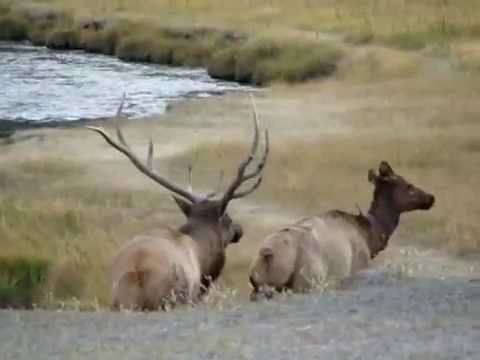 Elk Mating — at Madison, Yellowstone National Park  Fall 2010