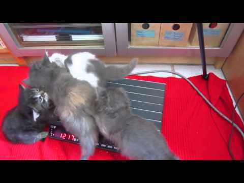 4 Maine Coon Kittens, 4 weeks old