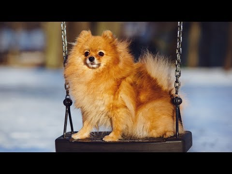 Cute Dogs in Swings Compilation
