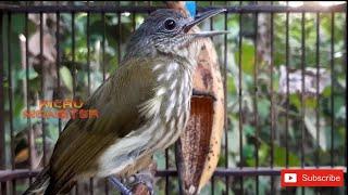 Download Mp3 Pancingan Bunyi Burung Siri Siri Ampuh!