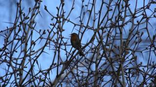 Пение зарянки (малиновки). Голоса птиц. Robin song