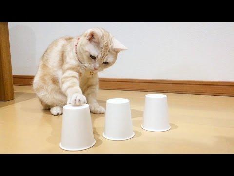 Cat plays Cup Game / 猫とシャッフルゲーム