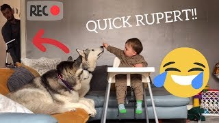 Funny Baby Waits Till Dad Leaves Room To Feed The Huskies! [SPYCAM][WITH FUNNY COMMENTARY]