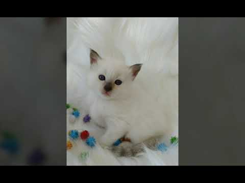 Balinese Kittens Available