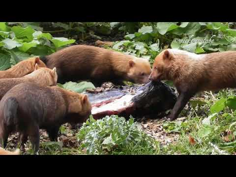 Bush Dogs Working As A Team To Move Food