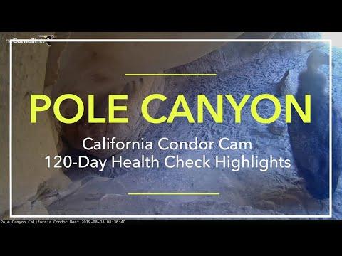 Pole Canyon California Condor 120-Day Health Check Highlights – Aug. 8, 2019