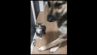German Shepherd and Maine coon kitten first interaction