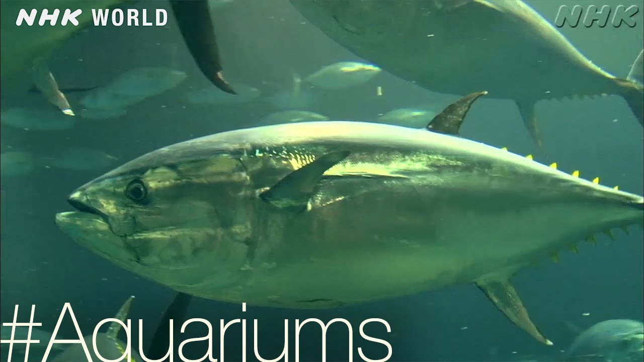 Photo of Too much tuna? [Aquariums] – #TOKYO [Japan] – video