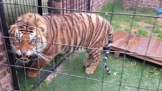 How not to feed tigers ,try not to watch this video, it is my worst yet!