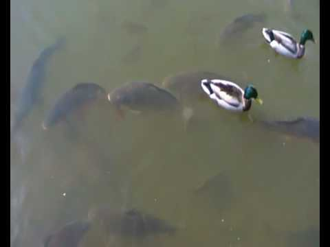 how to catch surface feeding carp