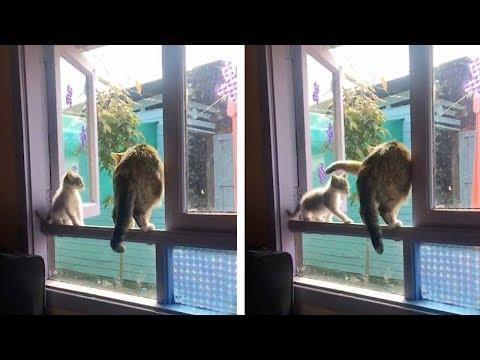 Cat Knocks Kitten Down Windowsill