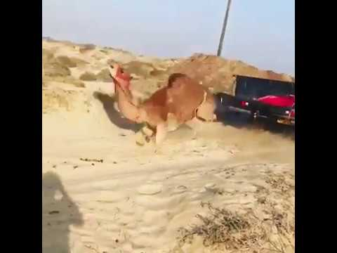 Video of a Tied Camel Flung Out of Pickup Truck Goes Viral