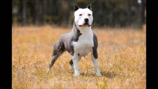 American Staffordshire Terrier - Amstaff Blue Nose - Canil Imperial Terriers