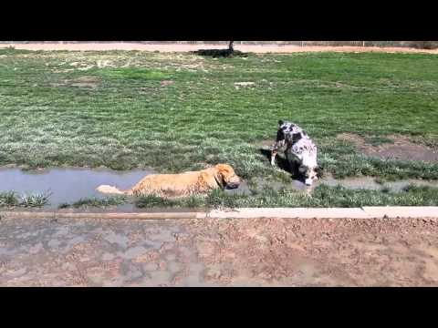 Puppy Watches Silly English Cream Golden Retriever Lying Down In Mud Puddle - Colorado