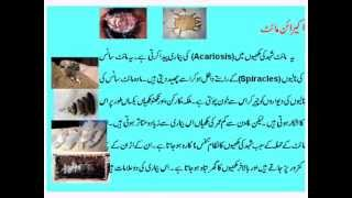 Magasbani Urdu.wmv
