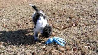 "Gizmo The Schnauz-tzu Playing With The Kong ""wubba"""