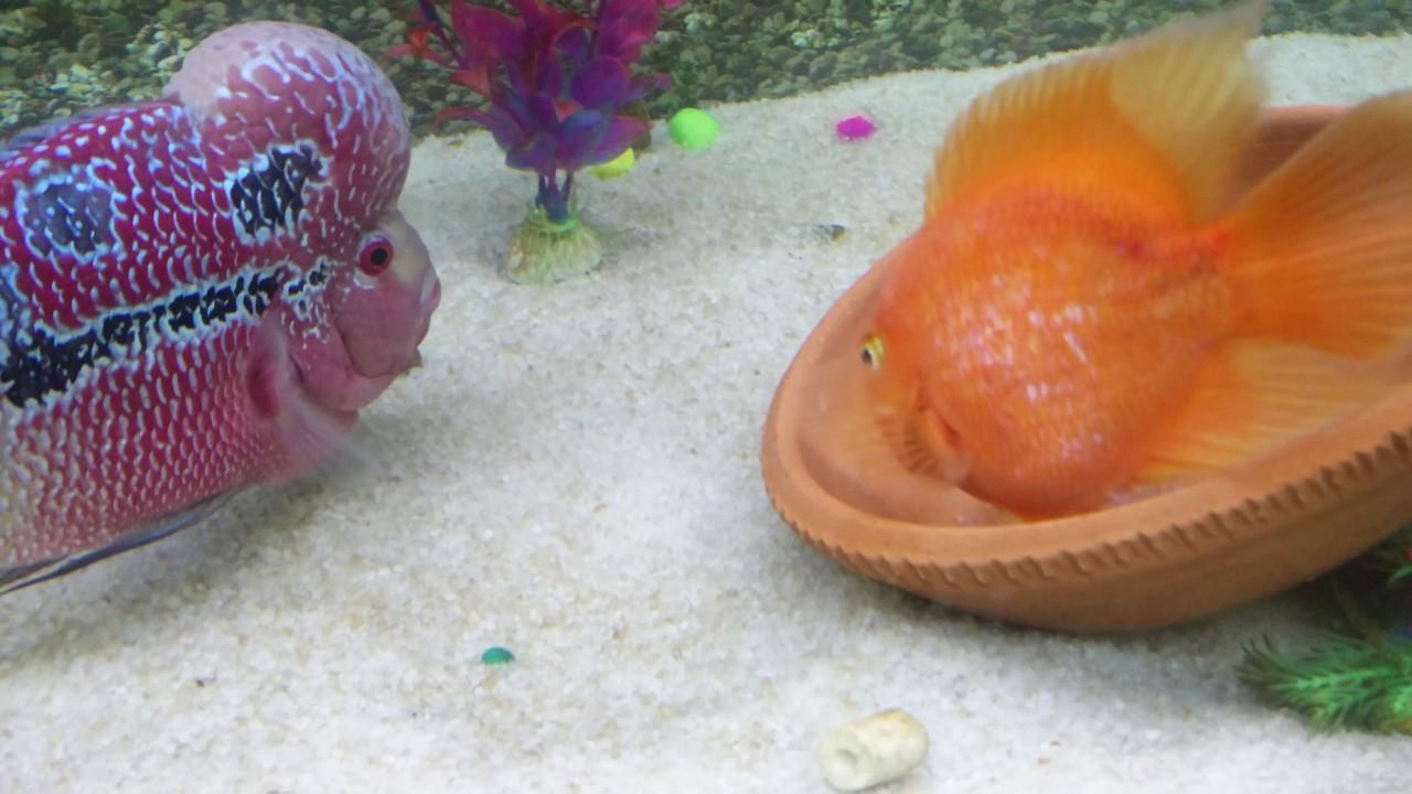 Breeding Flowerhorn with bit koky female parrot - YouTube
