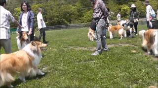 """Rough Collie """"MOTHERl LAKE kennel"""" off line party YAMANAKA lake in ..."""