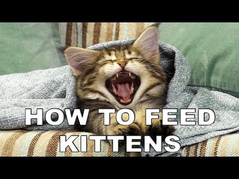 How To Feed Baby Kitten - Ares The Cat