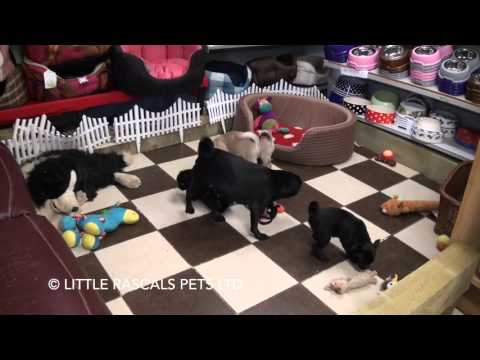 Little Rascals Uk breeders New litter of pure bred Pug for sale January 2016
