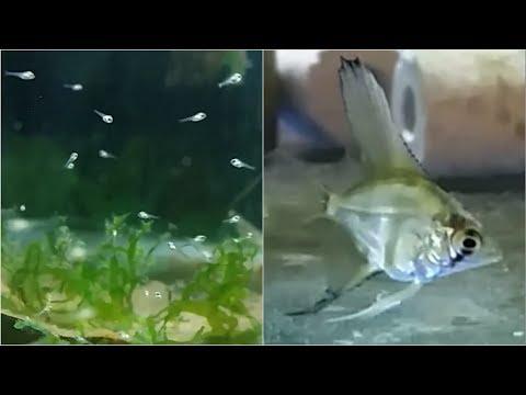 Angelfish Fry Growing Up - Week By Week Log