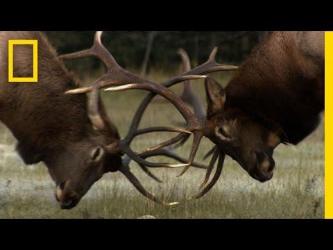 The Yearly Elk Brawl | Untamed Americas
