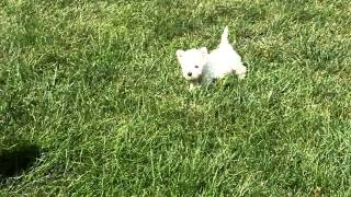 West Highland Terrier Puppies For Sale Wilmer Stoltzfus