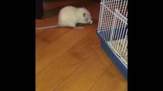 Дамбо крысы :Рокс и Баунти