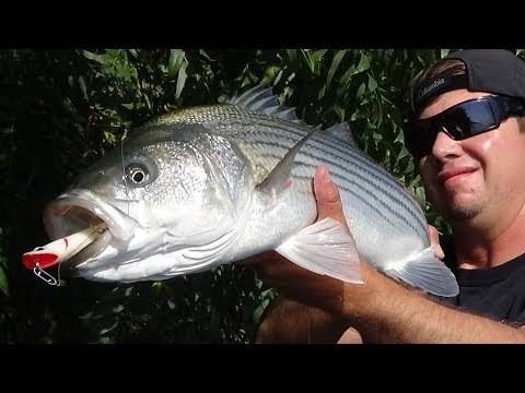 FALL CALIF. DELTA TOP WATER STRIPED BASS !