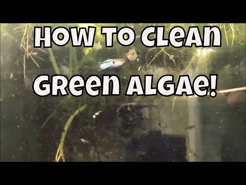 How To Clean Algae Off Of Fish Tank Fish Tank Glass! Japanese Blue Guppy Fish Fish Room VLOG