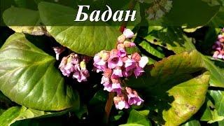 видео Бадан. Лечебные свойства и противопоказания. Фото. Корень и листья бадана