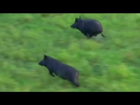 Wild Russian boars invade Texas