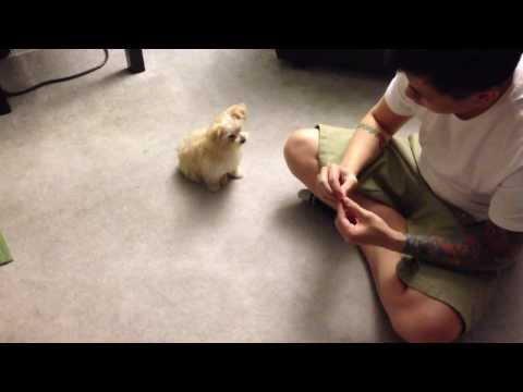 Daisy - 12 weeks old Maltipoo puppy girl doing tricks