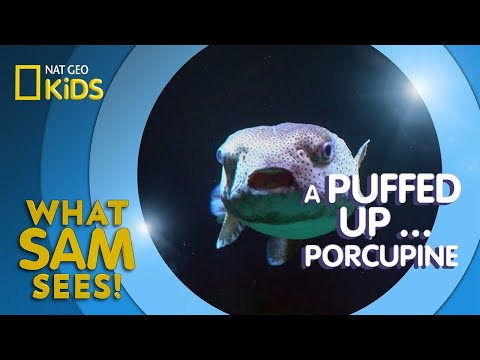A Puffed Up … Porcupine | What Sam Sees