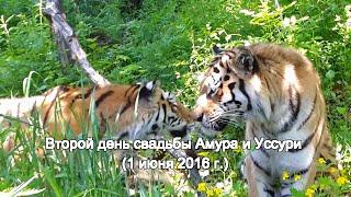 Второй день свадьбы Амура и Уссури (1 июня 2016 г.)