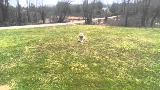 Off Leash Dog Obedience (standard Poodle)