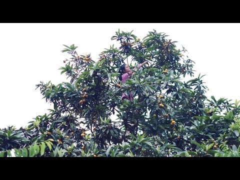 山里的枇杷果又大有红,采回家吃不完,把它加工成酒和枇杷酱可以吃很久