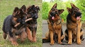Funny and Cute German Shepherd Puppies Compilation #1 - Cutest GSD