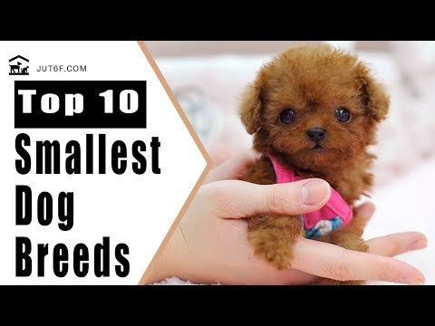 Small Dog Breeds - Top 10 Smallest Dog Breeds in the World