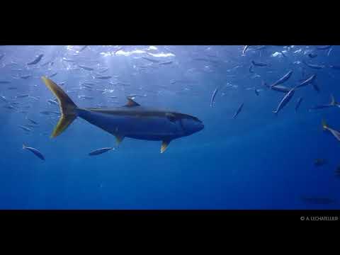 Île Guadalupe - à la découverte du Grand requin blanc