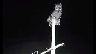 Great Horned Owl Lands on Charlo Mountain Perch, 1 40am MST 2018 03 03 06 52 10 740