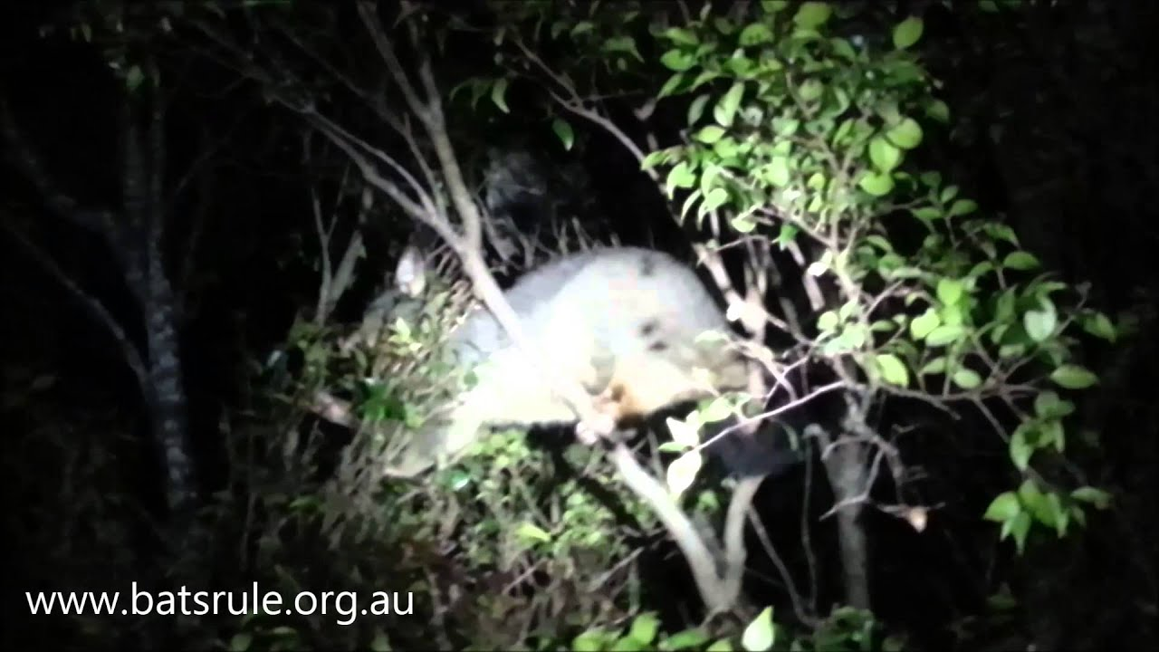 megabat flying fox fruit bat n possum u0027s backyard youtube