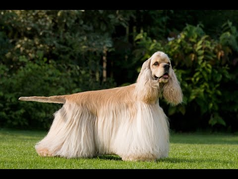 Cocker Spaniel Dog Breed , information, video ,characteristics & facts  Dog World ,